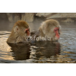 Two Japanese Macaque grooming in hot spring. 64239