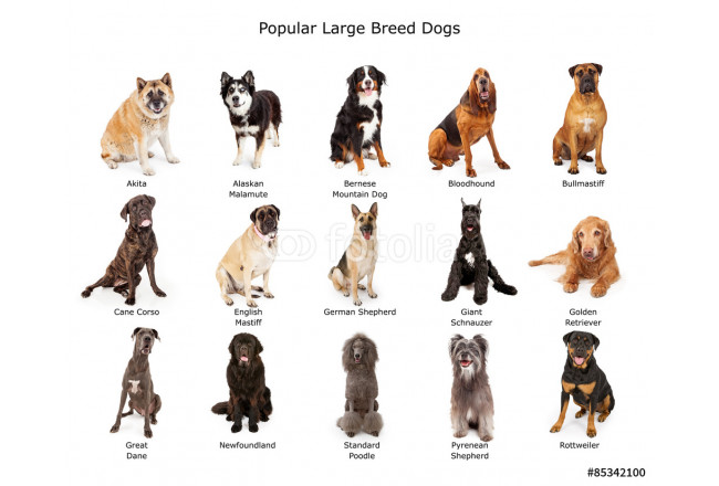 Cuadro decorativo Collection of Popular Large Breed Dogs 64239