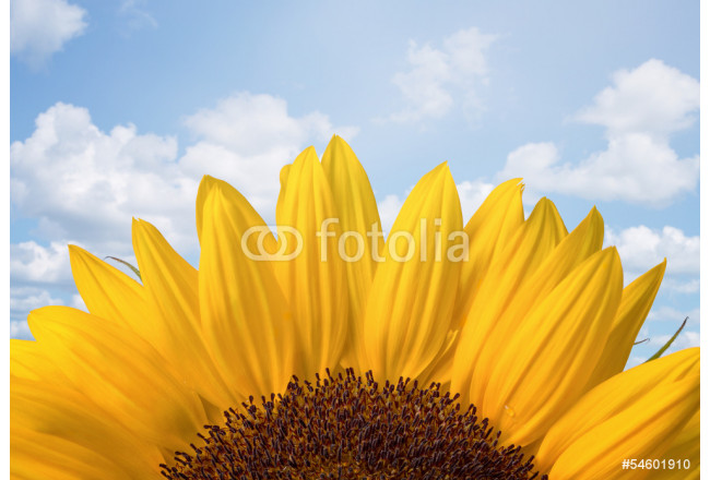 Sunflower over cloudy blue sky with copy space 64239