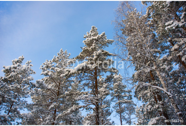 trees in the winter covered with snow against the blue sky 64239
