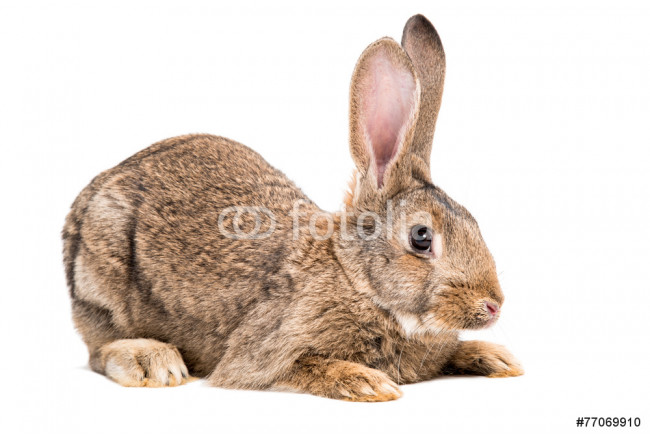Portrait of a brown rabbit 64239