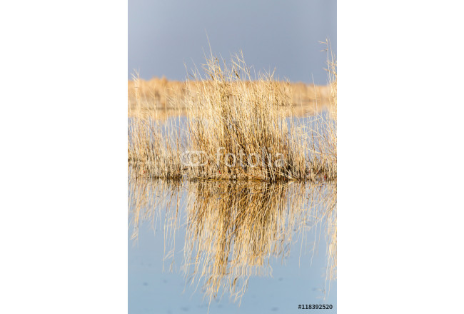 Obraz nowoczesny yellow reeds at the lake 64239