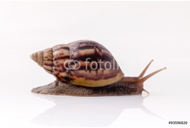 Closeup of garden snail isolate on white background with reflect 64239