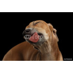 Closeup Cute Italian Greyhound Dog Licked with pleasure isolated Black 64239