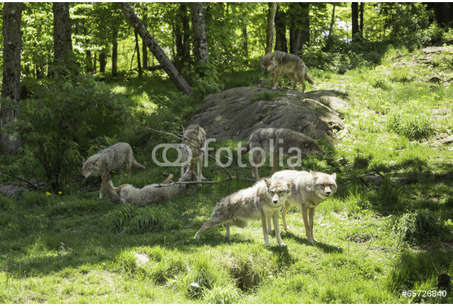 Pack of coyotes howling 64239