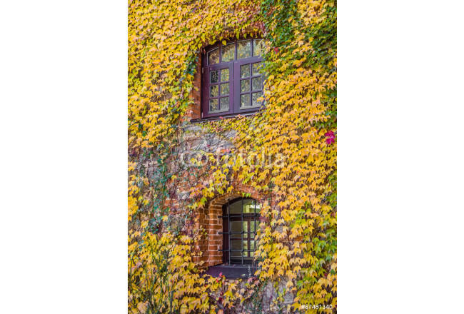 House wall overgrown with wild grapes, autumn scene 64239