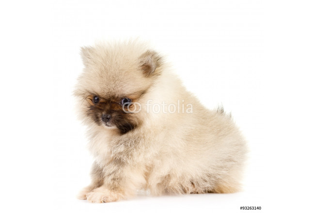 Pomeranian Puppy at six weeks old 64239