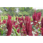 Amaranth is cultivated as leaf vegetables, cereals and ornamental plants. Genus is Amaranthus. Amaranth seeds are rich source of proteins and amino acids. Also known as thotakura in India 64239