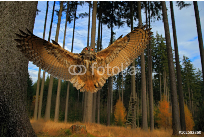 Art painting Flying Eurasian Eagle Owl with open wings in forest habitat, wide angle lens photo 64239