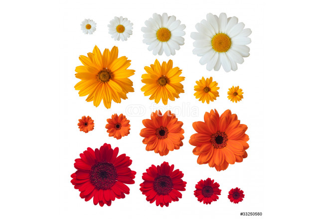 collection of daisies 64239