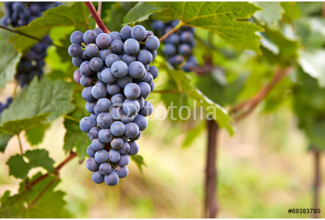 Branch of red wine grapes 64239