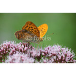 Argynnis paphia - Silver-washed Fritillary 10 64239