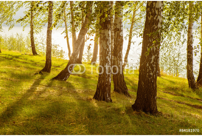 birches on the river bank 64239