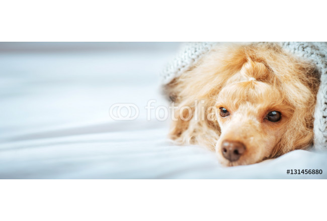 Poodle dog is lying and slepping under the blanket in bed, having a siesta. 64239