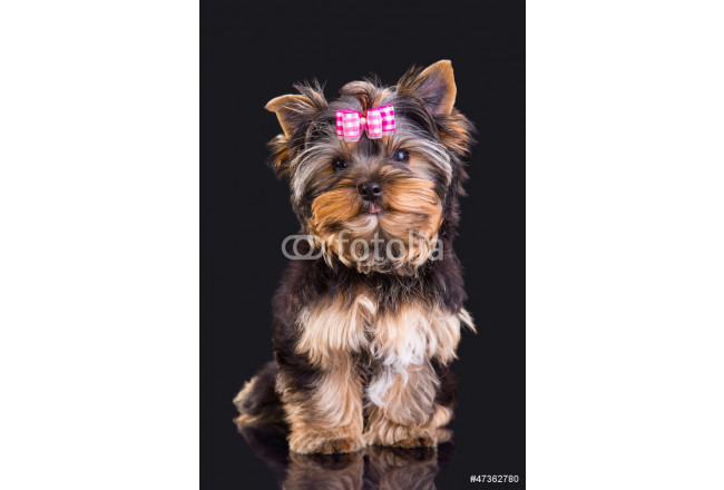 Lovely puppy of Yorkshire terrier with pink bow 64239