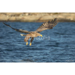 White-tailed Eagle Hunting 64239