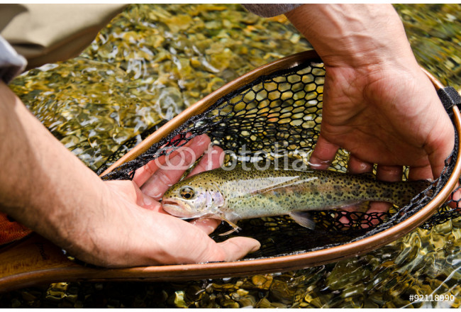 Rainbow trout in the hands 64239