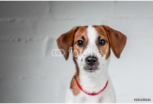 Jack Russell Terrier puppy posing 64239