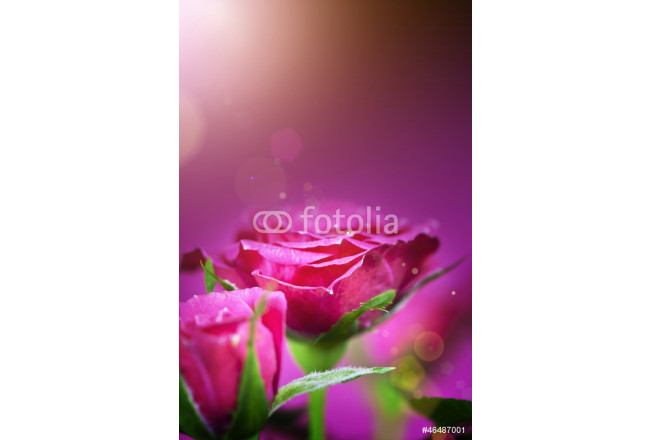 pink roses 64239