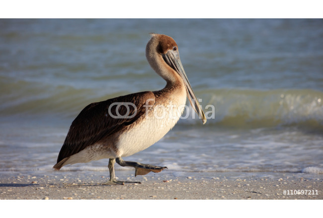 Pelican walking on the beach in the morning sun, Florida 64239