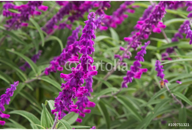Selective focus of Mexican bush sage flowers (Salvia leucantha) in purple shade in the garden 64239