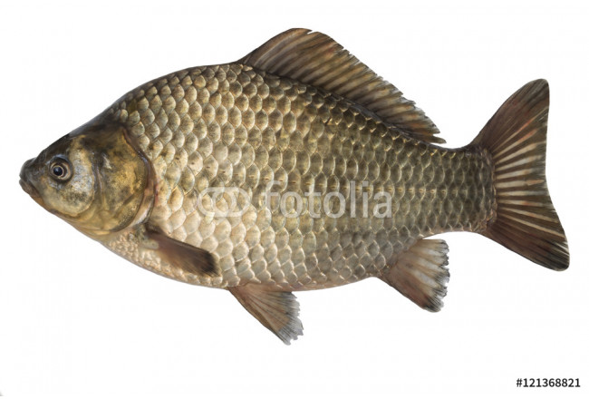 raw fish crucian carp isolated on the white background, isolated on white background. 64239