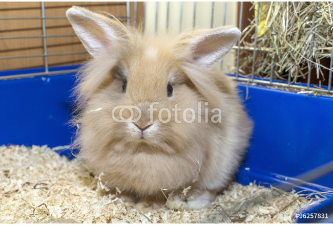 Golden rabbit in a blue cage. Domestic cute pet for children 64239