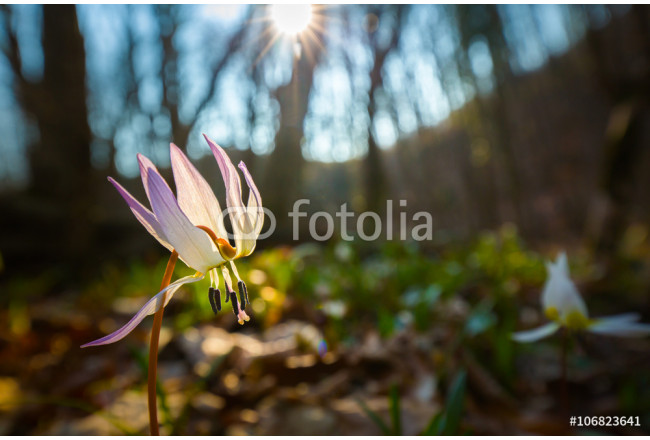 Obraz nowoczesny Wild dog's tooth violet in the forest in spring 64239