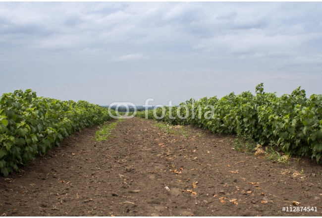 A large field of blackcurrants ready for harvest 64239