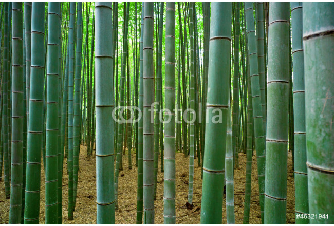 Bamboo forest 64239
