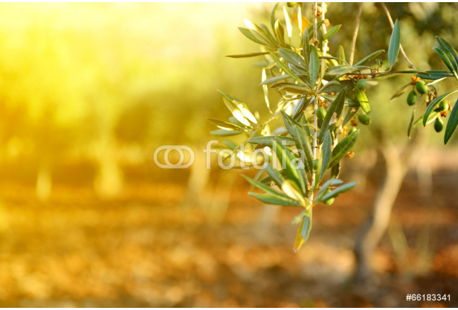Olive trees garden, mediterranean olive field ready for harvest. 64239