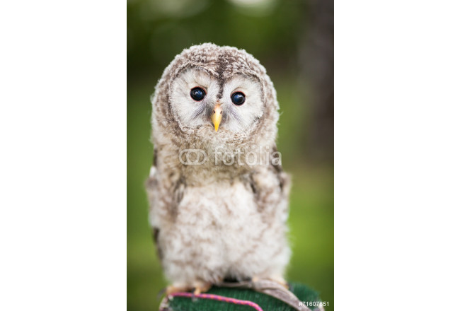 Close up of a baby Tawny Owl (Strix aluco) 64239
