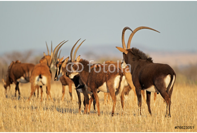 Small herd of sable antelopes 64239