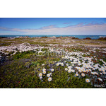 Cape Agulhas landscape, South Africa. Fields of flowers on the seashore in spring. 64239