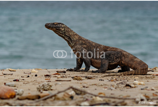 Quadro contemporaneo Komodo dragon in the beautiful nature habitat on the famous island in Indonesia, dragons, wildlife, rare and beauty, danger, gigantic and the biggest lizard on the earth 64239