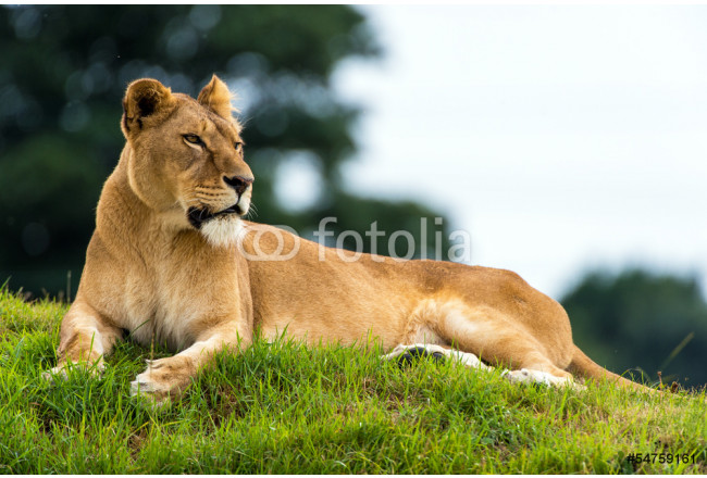 Resting Lioness 64239