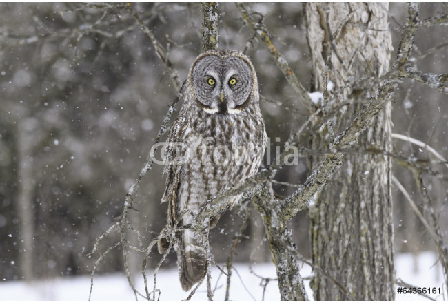 Great Grey Owl in a snow storm 64239