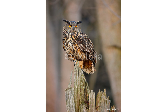 Eagle Owl, big bird rare sitting on the stump in dark forest, animal in the nature habitat, Norway 64239