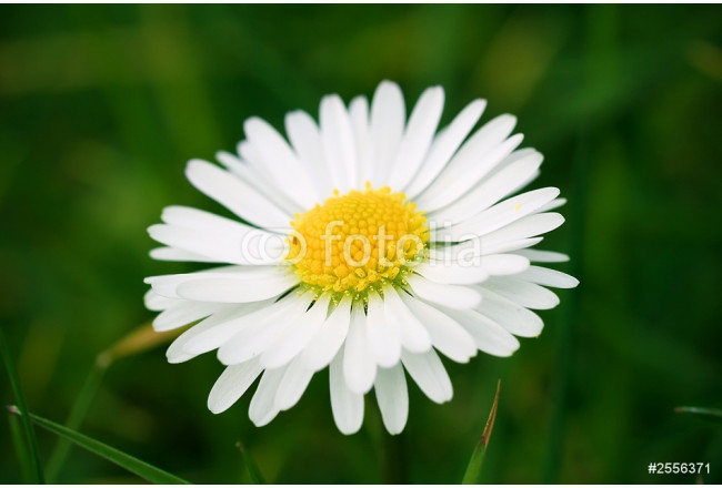Fleur Blanche Paquerette Marguerite Nature
