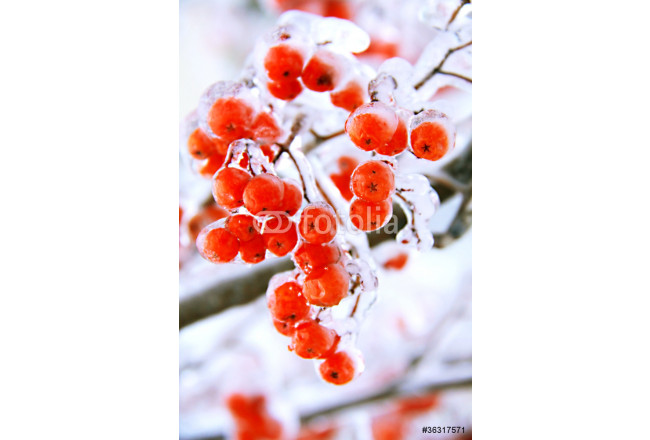 ice ashberry 64239