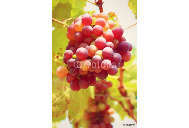 Grapes in the vineyard - the fruit. 64239