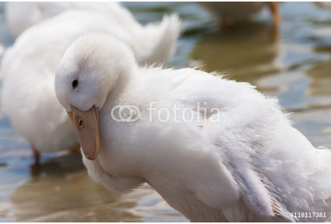 Real white duck in a farm with pond 64239