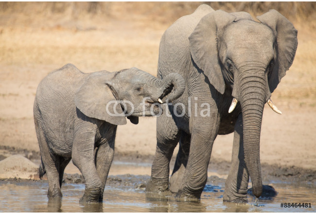 Elephant calf drinking water on dry and hot day 64239