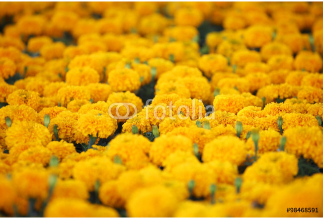 Painting marigold flower 64239