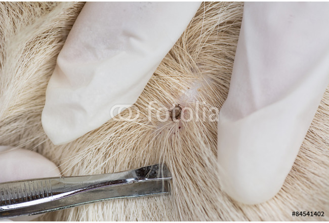 Human hands using silver pliers to remove dog adult tick from t 64239