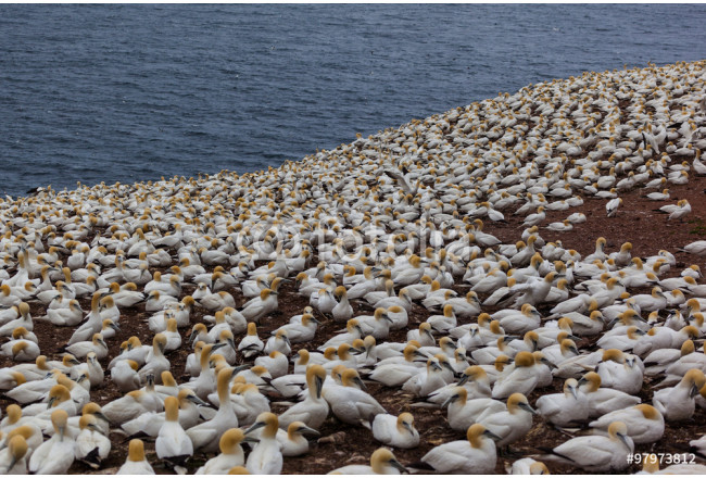 Northern Gannet colony on Bonaventure Island, Perce, Gaspe, Quebec, Canada. 64239