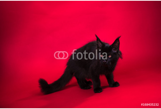 A small black maine coon kitten, on red background 64239