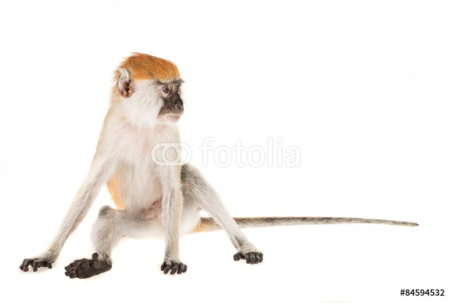 Bild auf Leinwand Monkey, Isolated, Animal. 64239