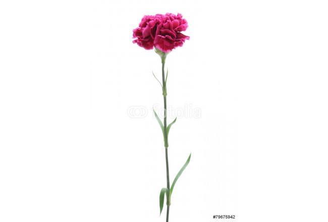 Pink carnation isolated on white background 64239