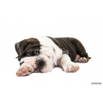 Cute english bulldog puppy sleeping isolated at a white background 64239